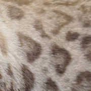 Snow bengal pattern
